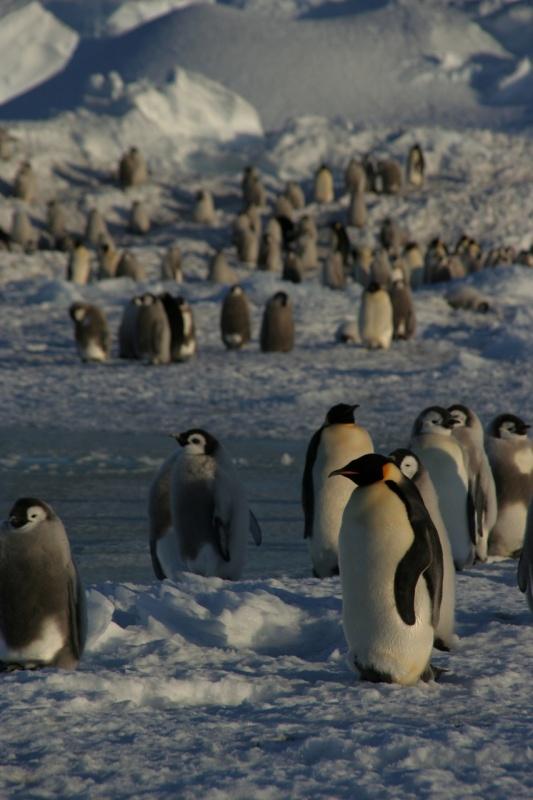 Manchots empereurs, en Antarctique